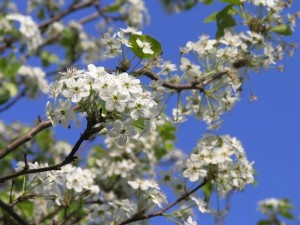 trees_callery_pear_tree_rsz_mpbaugh_wiki